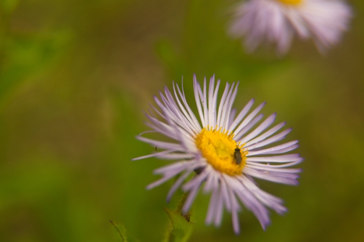 Aster Up close