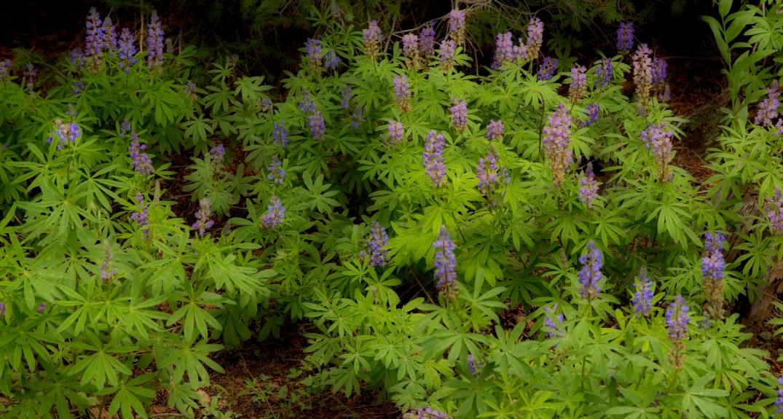 Lupin Field Vibrant